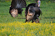 Turkeys Prints - Turkey Love Print by Todd Hostetter