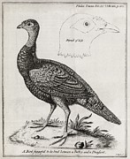 Cross Breed Prints - Turkey-pheasant Cross, 18th Century Print by Middle Temple Library