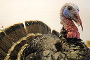 Florida Wild Turkey Prints - Turkey Taxidermy Print by Theresa Willingham