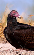 Vultures Prints - Turkey Vulture Print by Bruce J Robinson