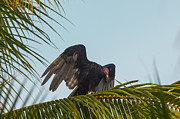 Cathartes Aura Framed Prints - Turkey Vulture Framed Print by Craig Lapsley