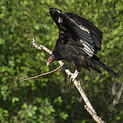 Buzzards Prints - Turkey Vulture Print by Ernie Echols