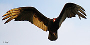 Texas Vultures Posters - Turkey Vulture Evening Flight Poster by Roena King