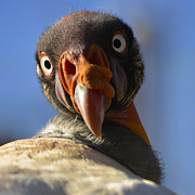 Zoo Animals Photos - Turkey Vulture Gaze by Dave Dilli