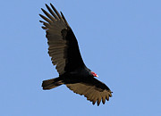 Turkey Metal Prints - Turkey Vulture Metal Print by Marc Bittan