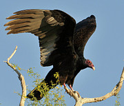 Vulture Framed Prints - Turkey Vulture Framed Print by Martina Thompson