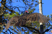 Buzzard Art - Turkey Vulture with Wings Spread by Sharon  Talson