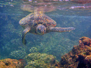 Hawaiian Green Sea Turtle Photos - Turtle Approaching by Bette Phelan