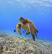 Underwater Photo Acrylic Prints - Turtle Acrylic Print by Chris Stankis