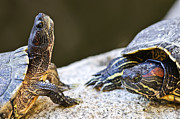 Reptile Photos - Turtle conversation by Elena Elisseeva