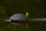 Yellow Slider Posters - Turtle  Cross Turtle Poster by Kathy Gibbons