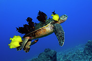 Green Sea Print Posters - Turtle grooming Poster by Andre Seale
