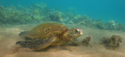 Hawaiian Green Sea Turtle Photos - Turtle Magic by Brian Governale