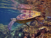 Hawaiian Green Sea Turtle Photos - Turtle Reflections by Bette Phelan