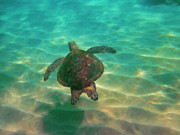 Hawaiian Green Sea Turtle Photos - Turtle Sailing over Sand by Bette Phelan