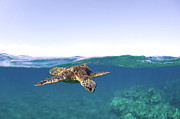 Sea Green Posters - Turtle Split View Poster by Monica and Michael Sweet