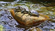 Trio Photo Originals - Turtle Trio by Allison Whitener