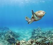 Gentle - Turtle Underwater 1 by Monica & Michael Sweet - Printscapes