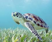 Gentle - Turtle Underwater 7 by Monica & Michael Sweet - Printscapes