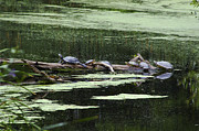 Reptiles Pyrography Prints - Turtles on Log Scarboro Pond#1  Print by Gordon Gaul