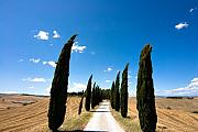Italian Cypress Photo Posters - Tuscan cypress landscape Poster by Mathew Lodge
