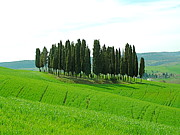 Tuscan Hills Framed Prints - Tuscan Trees Framed Print by  K Scott Williamson