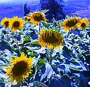 Floral Landscape Posters - Tuscany Sunflowers Poster by Giancarlo  Cungi