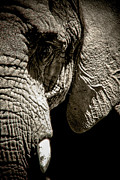 Elephant Photos - Tusk by Ken Marsh