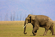 Elephant Grass Framed Prints - Tusker Elephant Strolling Through The Grassland Framed Print by The Wild Side by Nachiketa Bajaj