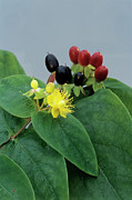 Unripe Prints - Tutsan Flowers And Berries Print by Archie Young