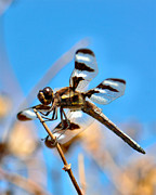 Black Widow Posters - Twelve-spotted Skimmer Dragonfly 7 Poster by Betty LaRue