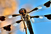 Winged Art - Twelve-spotted Skimmer Dragonfly 8 by Betty LaRue