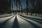 Snow Scenes Metal Prints - Twilight Tree Shadows On Snow Metal Print by Norbert Rosing