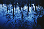 Bald Cypress Prints - Twilight View Of Bald Cypress Trees Print by Raymond Gehman