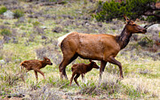 Elk Photos - Twin Elk Calves by Shane Bechler