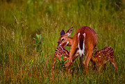 Twin Fawns Nursing Print by Joe Elliott