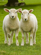 Green Seasonal Prints - Twin Lambs Print by Meirion Matthias