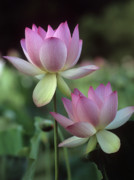 Pink Lotus Framed Prints - Twin Lotus Framed Print by Mark Christian