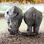 Horned Animals Framed Prints - Twin Rhino Framed Print by Bronco - J. Heiligensetzer