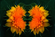 Orange Flower Digital Art Framed Prints - Twin Teddybear Sunflowers Framed Print by Marjorie Imbeau