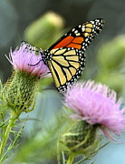 Twin Thistle Butterfly Print by Marty Koch