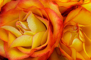 Yellow Rosebud Photos - Twin Yellow Roses by Ann Garrett