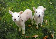 Sheep Mixed Media - Twins - Spring Lambs by P Donovan
