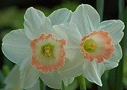 Daffodils Photographs Prints - Twins Print by Kathleen Struckle