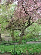 Spring Nyc Posters - Twisted Cherry Tree in Central Park Poster by Margaret Bobb
