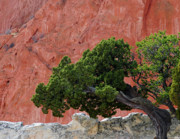 Red Sandstone Photos - Twisted Juniper - Garden of the Gods by The Forests Edge Photography - Diane Sandoval