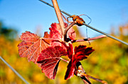 Syrah Photo Metal Prints - Twisted Metal Print by Kristine Ellison