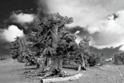Small Prints - Twisted old Bristlecone Pine above Crater Lake - Oregon Print by Christine Till