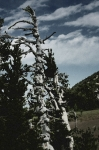 Old West Photo Originals - Twisted Whitebark Pine Tree - Crater Lake - Oregon by Christine Till