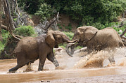 Pecking Prints - Two Adult African Elephants Charge Each Print by Pete Mcbride